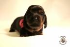 Puppies Zorka&Walter 2 weken oud 352