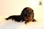 ZorkaWalter-puppies-35-weken-oud-306n