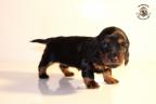 ZorkaWalter-puppies-35-weken-oud-335n