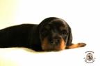 Puppies Zorka&Walter 2 weken oud 488