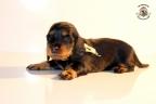 ZorkaWalter-puppies-35-weken-oud-160n
