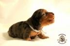 Puppies Zorka&Walter 2 weken oud 085