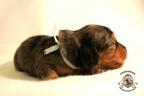 Puppies Zorka&Walter 2 weken oud 107