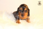 Zorka&Walter puppies 3,5 weken oud 052n