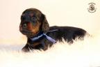 ZorkaWalter-puppies-35-weken-oud-527n