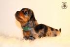 ZorkaWalter-puppies-35-weken-oud-188n