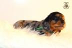 ZorkaWalter-puppies-35-weken-oud-205n