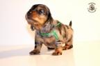 ZorkaWalter-puppies-35-weken-oud-234n