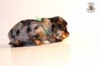 ZorkaWalter-puppies-35-weken-oud-250n