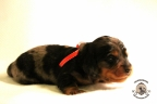 Puppies Zorka&Walter 2 weken oud 374