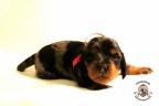 Puppies Zorka&Walter 2 weken oud 377