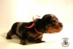Puppies Zorka&Walter 2 weken oud 391