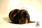 Puppies Zorka&Walter 2 weken oud 413