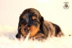 ZorkaWalter-puppies-35-weken-oud-409n