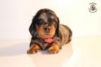 ZorkaWalter-puppies-35-weken-oud-413n
