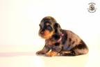 ZorkaWalter-puppies-35-weken-oud-453n