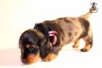 ZorkaWalter-puppies-35-weken-oud-499n