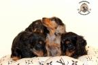 Sesja puppies Zorka 6 weken Bella 1 week1 242