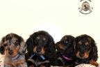 Sesja puppies Zorka 6 weken Bella 1 week1 281