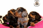 Sesja puppies Zorka 6 weken Bella 1 week1 349
