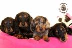 Sesja puppies Zorka 6 weken Bella 1 week1 360