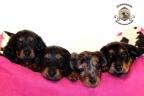 Sesja puppies Zorka 6 weken Bella 1 week1 378