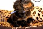Sesja puppies Zorka 6 weken Bella 1 week1 429
