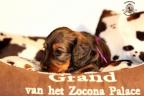 Puppies Zorka 9 weken Bella 4 weken 302-1