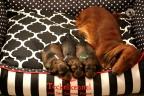Puppies zorka&sebi8 bella&sebi3 635-1