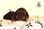 Sesja puppies Zorka 6 weken Bella 1 week1 179