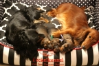 Puppies zorka&sebi8 bella&sebi3 756-1