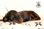 Sesja puppies Zorka 6 weken Bella 1 week1 081