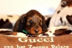 Puppies Zorka 9 weken Bella 4 weken 154-1